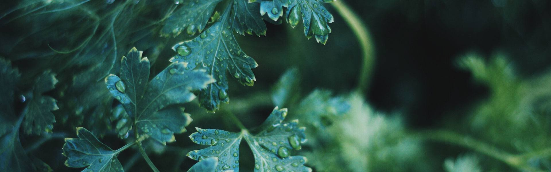Droplets of water sit on a several green leaves